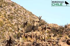 North Andean Deer / Hippocamelus antisensis / Taruka (Birding Chile) Tags: north andean deer hippocamelus antisensis taruka huemul del norte taruca chile arica putre