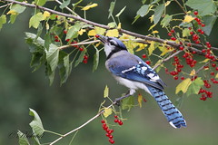 Geai bleu  - bluejay (ricketdi) Tags: bird cantley fruit gadelles geai geaiafaceblanche bleu rouge cyanocittacristata bluejay redcurrant ngc npc coth coth5