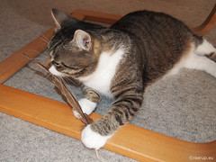 Bastian's feather, 1 - for Happy Caturday (Finn Frode (DK)) Tags: cats play pheasant feather bastian mixedbreed domesticshorthair olympus omdem5 denmark animal pet cat indoor happycaturday