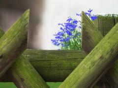 Peekaboo - HFF! (A_Peach) Tags: panasoniclumixg3 olympusf1845mm flower fence plant blue green dof hff