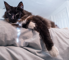 Relaxing on the bed (Percy)  (Olympus OMD EM5II & mZuiko 12mm f2 Prime) (1 of 1) (markdbaynham) Tags: percy cat feline pet big cute whiskers face olympus omd em5 em5ii csc mirorless evil mft m43 micro43 m43rd microfourthirds mz zd zuiko zuikolic mzuiko 12mm f2 prime