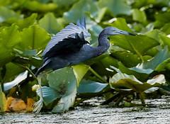 Aug 17 20168652 (Lake Worth) Tags: animal animals bird birdwatcher birds canonef500mmf4lisiiusm canoneos1dxmarkii everglades feathers florida nature outdoor southflorida waterbirds wetlands wildlife wing