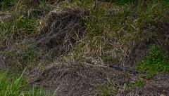 A basking Red-bellied Black Snake (Pseudechis porphyriacus) (Mattsummerville) Tags: redbelly redbelliedblacksnake snake elapid venomous julatten reptile rainforest winter wildlife pseudechisporphyriacus