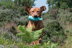 Dog Photography by Gerry Slade-2491 (Photography By Gerry Slade) Tags: dogphotographer gerryslade wwwgerrysladecouk