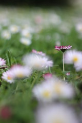 Unique (janalauri) Tags: daisy flower nature grass lawn meadow flowers blossom white pink beautiful unique blume gnseblmchen natur gras wiese rasen einzigartig schn happy happiness