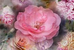 Rosy (CCphotoworks) Tags: postprocessing processing pink macroflowers flowers pinkroses roses
