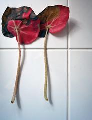 Pairs (graeme37) Tags: pairs spentbegonialeaves begonia tiles
