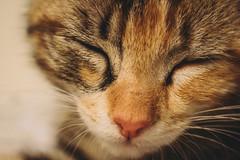 DSC_0910 (Azezra) Tags: kitty cat cats kitties calico kitten kittens nikon d3300 nikond3300 washington macro closeup state sleepy sleep sleeping warm cozy comfy paws paw cute cuteness animal feline companion