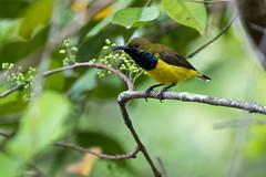 20160823-7D2_7709 (shutterblades) Tags: birds canon100400lmkii canon7d2 mandaizoo olivebackedsunbird riversafari singaporezoo