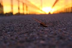 Meant to fly (Nathalie_Désirée) Tags: dragonfly evening sun sunlight outdoor eveninglight light bridge gold reflecting stuttgart stuttgartnord killesbergpark june summer glory glorious macro closeup nature city insect fly mysel myselection