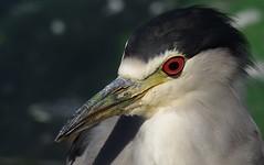 IMGP8505 (CatseyeGomez) Tags: reno nevada virginia lake bird heron blackcrowned night