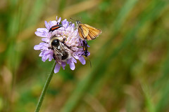 Fullsatt (evisdotter) Tags: fullsatt flower blomma humla bumblebee insects smallskipper macro bokeh summer nature fjril