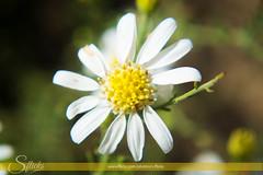 Flower (S-Flicks) Tags: flower gilgitbaltistan skardu deosai
