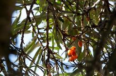 (klgfinn) Tags: autumn balga berry buckthorn landscape leaf seabuckthorn shore tree
