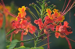 Dwarf Poinciana... ecstatic profusion of reds, oranges and golds! (jungle mama) Tags: dwarfpoinciana orange red gold filament bud tropicalshrub biscayneparkflorida ngc