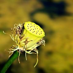 I'm Done... (DawnWarrior) Tags: nationaltrust dyffryn gardens water pond fluer flower seedhead seed head stalk stem algae dawnwarrior sonyrx10 bokeh dof autumn fall hdr