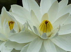 I for Intertwined (Irina1010_out for a while) Tags: waterlily flowers intertwin thefirstletterofmyname macromondays nature macro canon white birminghambotanicalgarden ngc npc