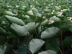 That gust of wind! (Soror Mystica) Tags: lotus lotusleaves flowers nelumbonucifera lake wind breeze