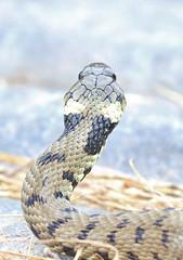 Grass snake , Natrix natrix (11) (Geckoo76) Tags: grasssnake snake natrixnatrix