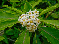 Pittosporum florette (elphweb) Tags: australia falsehdr fhdr pittosporum tree blossom bloom flower inforescence pittosporumtree