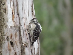 IMG_3114 Downey Woodpecker, in the process of molting, (christiane shannon) Tags: downeywoodpecker molting