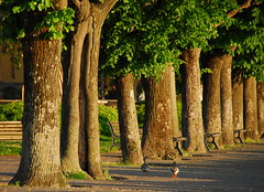 Morning walk (petrk747) Tags: desenzanodelgarda lakegarda lombardy italy town lake holidaydestination travelling holiday voyage nature trees shore morning walk outdoot saariysqualitypictures