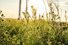 West Texas Morning (11 of 40) (mharbour11) Tags: wildcats elk purple sunrise westtexas texas sky windturbines windmill sun silhouettefire silhouette