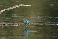 Diving King (raytaylor77) Tags: england unitedkingdom gb kingfisher bif diving bathing