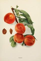 n470_w1150 (BioDivLibrary) Tags: andrewjackson 18151852 downingaj fruitculture newyorkstate portraits prunuspersica rosaceae newyorkbotanicalgardenluesthertmertzlibrary bhl:page=6593810 dc:identifier=httpbiodiversitylibraryorgpage6593810 triumphpeach