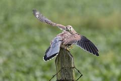 Kestrels (peterspencer49) Tags: peterspencer peterspencer49 kestrel birdofprey bird hawk raptor falcon uk