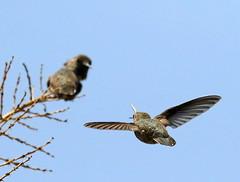 The Confrontation (C-O) Tags: jul 23047 arboretum birds annas hummingbird inflight confrontation nature arcadia ca