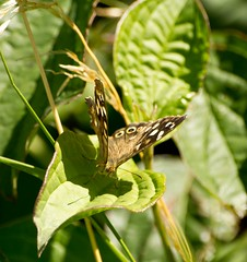 Speckled Wood Butterfly (Diddie Pixs) Tags: uk england brown white colour macro art texture nature grass woodland wings pretty pattern angle small canvas gb prints delicate solitary fragile flap unitedkingdon greatbritian beautifulbeauty focalfocus geometricgeometry speckledbrownparargeaegeria butterflyfluttereyespotwings markingsmark