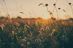 [160/366] (Manuel Gutjahr) Tags: sun plant nature grass 35mm nikon dof sundown 14 pflanze depthoffield manuel gras nikkor gegenlicht d800 halm 366 gutjahr project366