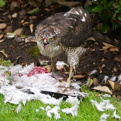 Dinner Time (woollybah) Tags: red food white green bird grass yellow dinner grey blood bush pigeon feathers sparrowhawk lumixgvario100300f4056