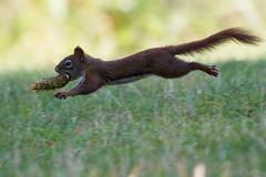 Squirrel Olympics (rracine1) Tags: canada nature canon britishcolumbia wildlife places columbia british kelowna specanimal