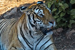 Tigre, zoo di Fasano, Puglia, Italia. (william eos) Tags: desktop art canon photo italia wallpapers fotografia puglia tigre animali sfondo photografy fasano photocard nicepictures bellefoto canonef24105mmf4lisusm canoneos450d zoodifasano sfondiperdesktop williameos williamprandi