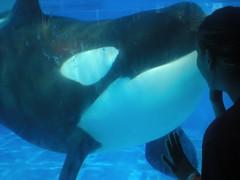 Inspired (TheClassyOrca) Tags: killer whale orca seaworld shamu killerwhale trua underwaterviewing shamucloseup shamuunderwaterviewing