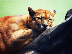 I Hate Mondays (osvaldoeaf) Tags: sleeping brazil cute animals brasil fauna zoo feline goinia gois