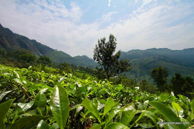 Tea Leaves At Munnar, Kerala