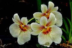 Orchid (chooyutshing) Tags: orchid flower singapore cloudforest marinabay baysouth gardensbythebay nationalparksboard