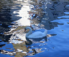 Swanning around (snowyturner) Tags: light water reflections swan cornwall harbour tide shade ripples polperro