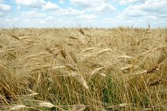 Wheat in the field in Kazakhstan (CIMMYT) Tags: plant planta field asia farm wheat farming crop campo growing agriculture centralasia kazakhstan plot trigo granja agricultura labranza parcela creciendo kazajstán asiacentral cimmyt kazajistán kazakstán