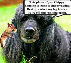 Ebbie and Chippy hanging on (ebonique/ANJELIQUE) Tags: black photoshop humor poodle standardpoodle cherryontop supershot ebbie blackstandardpoodle citrit adorablecritters ebonique