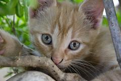Mao (Erika Tondo) Tags: cat eyes natura occhi albero gatto animali approvato