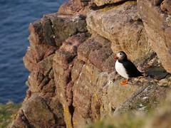 Puffin (Fratercula arctica), Clo Mor, Kearvaig, Cape Wrath (Niall Corbet) Tags: sea cliff coast scotland puffin sutherland capewrath fraterculaarctica kearvaig