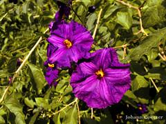 Purple Flower (JohannCoetzer) Tags: art black new photography photos google life flowers flower nature green color spring macro small close water zoom istillbelieveinu