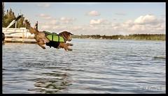 distance - Explore #384 (Dave (www.thePhotonWhisperer.com)) Tags: life dog lake water golden three jump dock leg emma canine retriever jacket saskatchewan lifejacket amputee 3leg