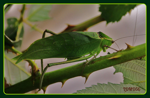 Riesen-Blattschrecke (Stilpnochlora couloniana)