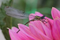 Parc Floral de Vincennes 28.08.12 4395 (MUMU.09) Tags: insectos macro nature insect photo foto dragonfly bild makro libelle insekt liblula  insetto insecte libellule imagem   libellula obraz  owad   hmyz     skordr waka      trollslnda rovar odonate   zdjcie  vka kerengende    feithid  omh mdudu