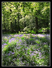 Bluebell woods (Mrs P's Photo Show Thanks for visiting & Comments) Tags: bluebells forest spring woods dean may